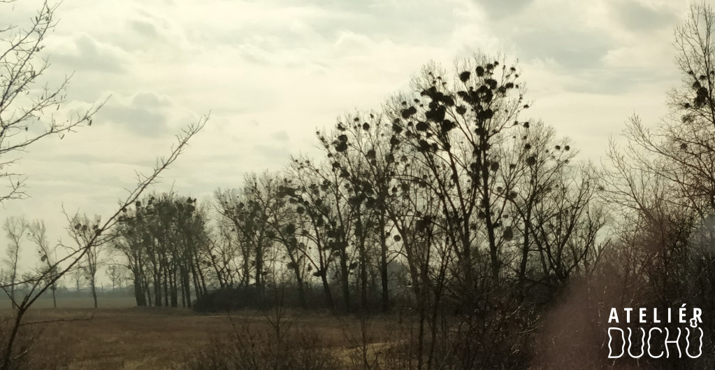 Poplar trees overgrown by mistletoe, near Kúty, SK
